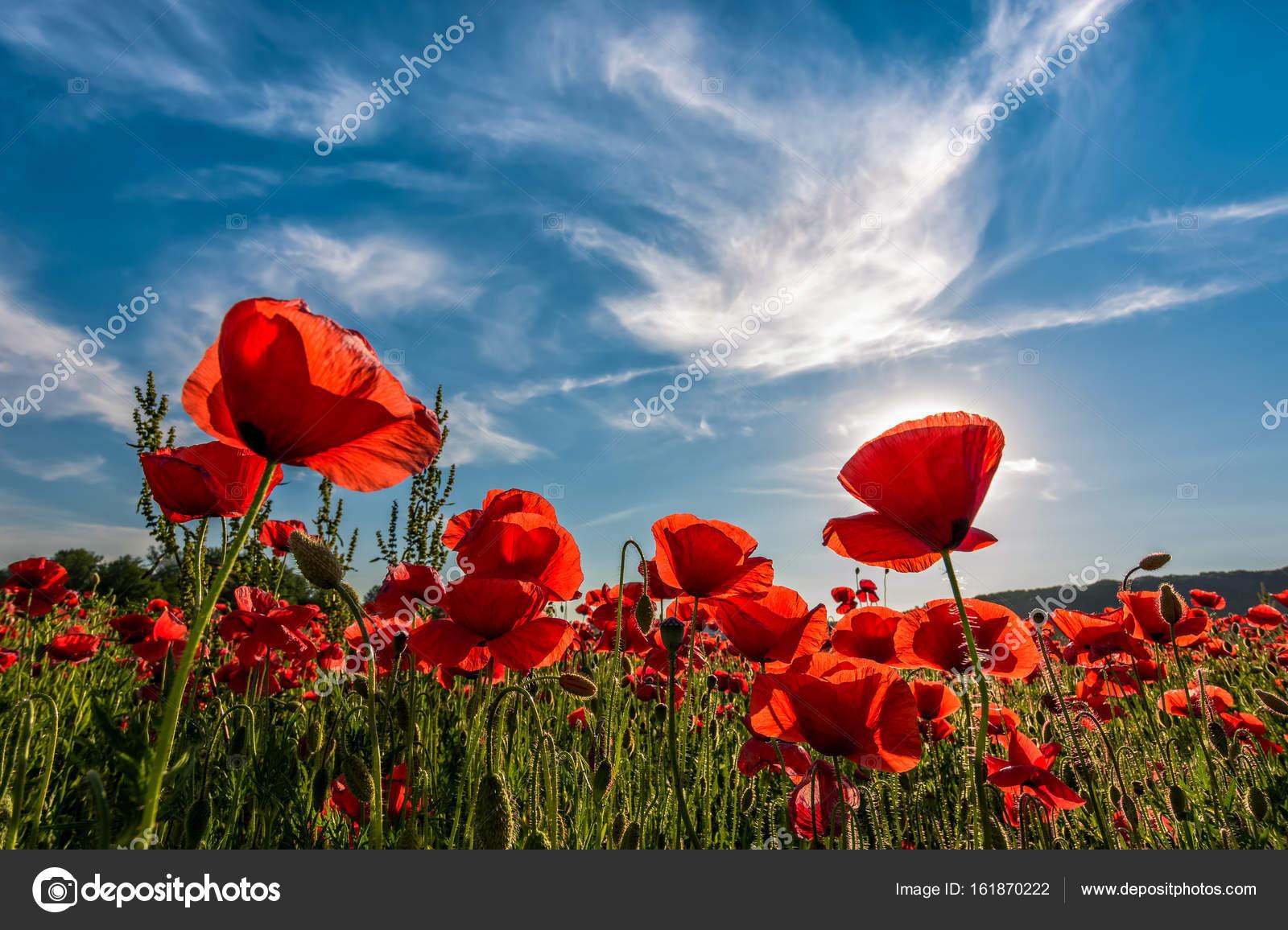 Poppy Flowers Field In Mountains Stock Photo Pellinni 161870222