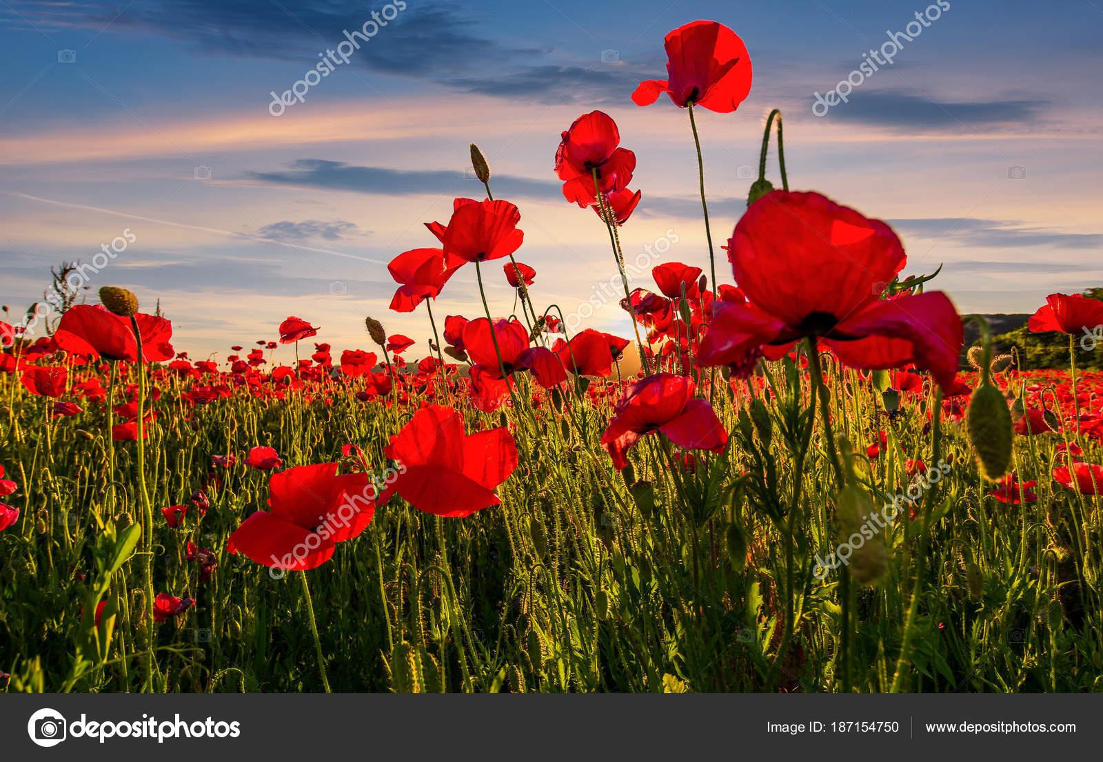 Poppy Flowers Field In Mountains Stock Photo Pellinni 187154750