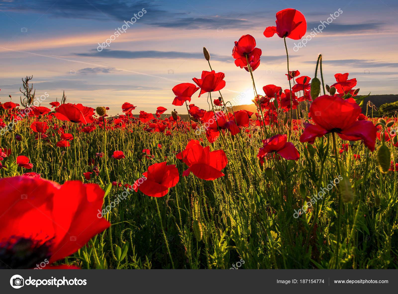 Poppy Flowers Field In Mountains Stock Photo Pellinni 187154774