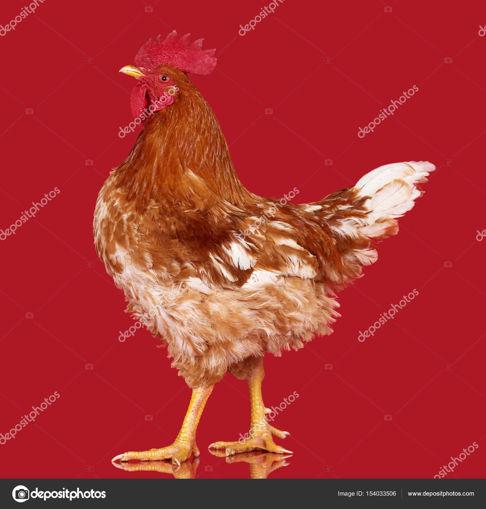 Gallo Marrone Su Sfondo Rosso Pollo Vivo Primo Piano Di Un Animale