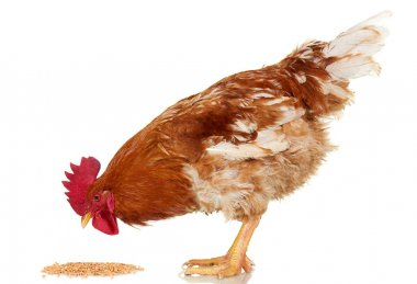 Brown rooster eat cereal grain on white background, isolated object, live chicken, one closeup farm animal