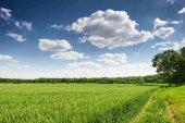 pšeničné pole na jaře, krásnou krajinu, zelené trávy a modrá obloha s mraky