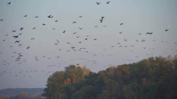 Gänseschwärme fliegen am Abendhimmel, viele Vögel fliegen über den Fluss, wilde Natur, Herbstwald bei Sonnenuntergang