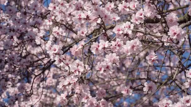 kvetoucí, růžové a bílé květy na stromech, jarní příroda, krásné pozadí