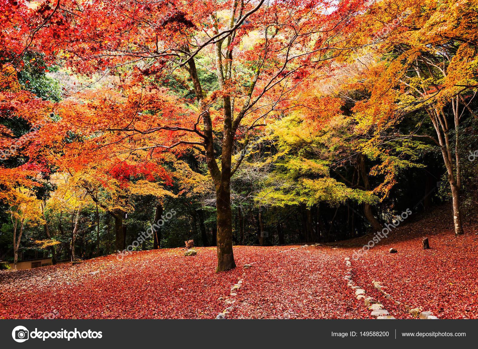 arbres de l'automne avec le tapis de feuille rouge, arashiyama