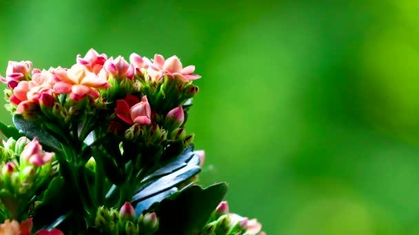 Red Flower close up in 4k. Filmed in Croatia.