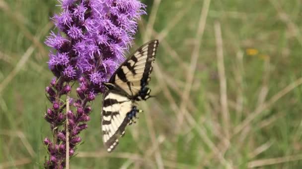 Gelber Schwalbenschwanz-Schmetterling huscht und flattert auf der Prärie von Blume zu Blume.