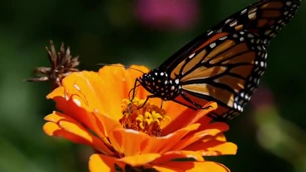 Monarch probes flower for nectar the flies away.