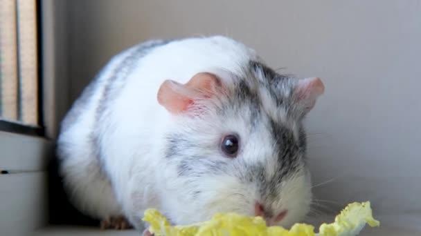 4k Szürke fehér tengerimalac rágás zöld saláta levél otthon - állatok élelmiszer és háziállat koncepció