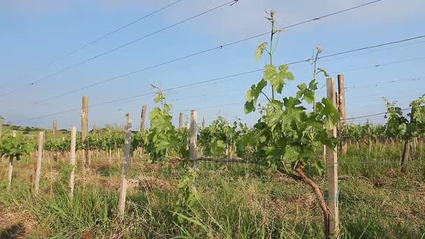 Nézd a vineyard.