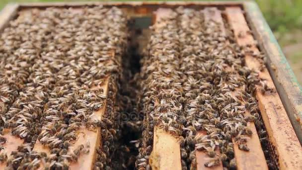 Pszczoły Są Pochodzących Z Ula Open Hiveopened Pszczoły Są Czołgać Się Wzdłuż Gałęzi Na Drewnianej Ramie O Strukturze Plastra Miodu