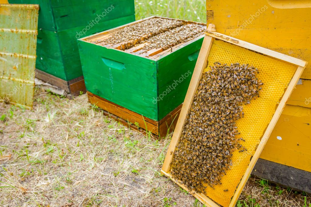 Bees on honeycomb with wooden frame out of the open hive