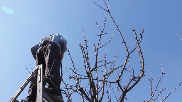 Zahradník je řezání větví, prořezávání ovocných stromů s zahradnické nůžky v orchardfarmer je prořezávání větví ovocných stromů v sadu pomocí nůžek na větve v časně jarní den používání žebříků.