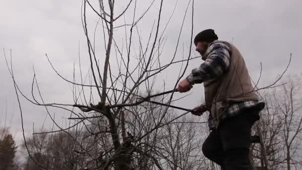Farmář je prořezávání větví ovocných stromů v sadu pomocí dlouhé nůžky na žebříky. Zahradník se vyšplhal na žebříky a on řezání větví, prořezávání ovocných stromů s dlouhou nůžky v sadu.