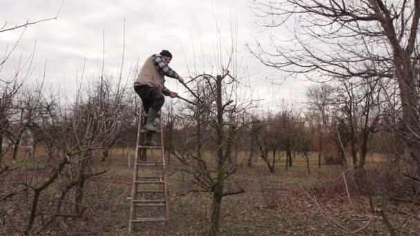 Farmář je prořezávání větví ovocných stromů v sadu pomocí dlouhé nůžky na žebříky. Zahradník se vyšplhal na žebříky a on řezání větví, prořezávání ovocných stromů s dlouhou nůžky v sadu