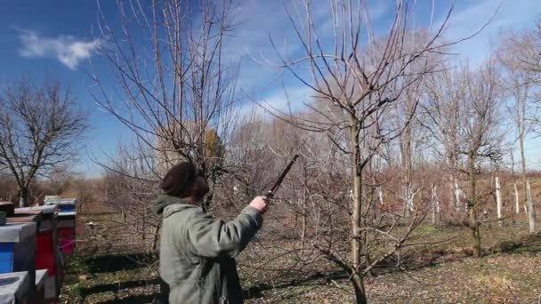 Farmer is pruning branches of fruit trees in orchard using long loppers at early springtime. H.264 video codec