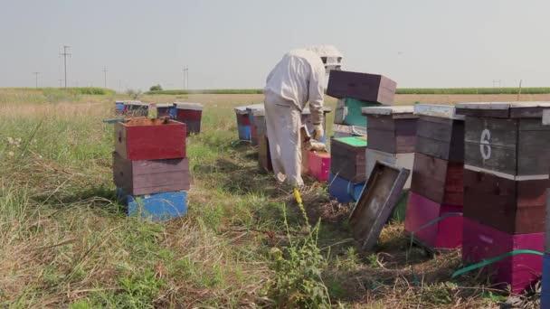 Imker überprüft Bienen, offener Bienenstock. Imker, Imker öffnet Bienenstock, um Situation in Bienenvölkern zu kontrollieren, bevor Honig aus Bienenstöcken extrahieren, ernten. H.264-Videocodec