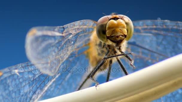 Libelle schwingt auf einem Draht — Stockvideo © palomink #130837090