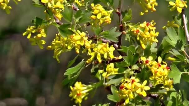 akácie bush kvetou květiny příroda