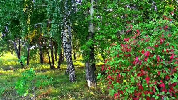 podzimní příroda lesní bříza Sibiř