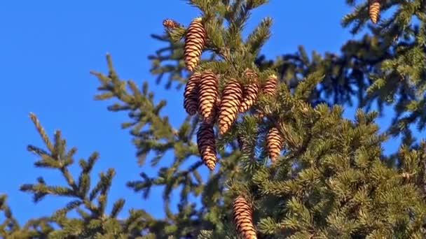 cones spruce brown needles