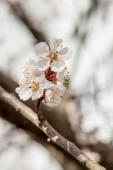 Meruňkové květiny na jaře, květinové pozadí jarní sezóna