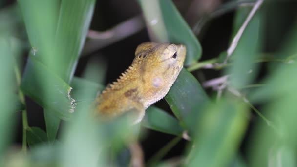 Oriental garden lizard Calotes versicolor, Thailand