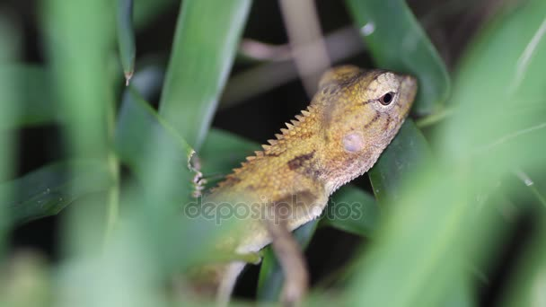 Eastern garden lizard Calotes versicolor, Thailand