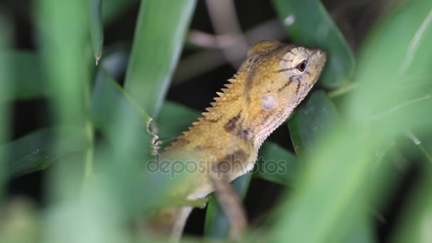 Changeable lizard Calotes versicolor, Thailand