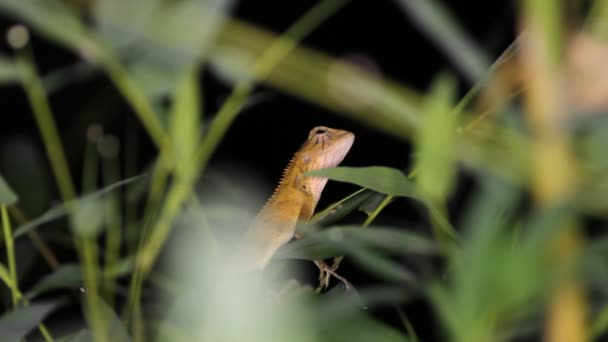Oriental garden lizard Calotes versicolor,night. Thailand