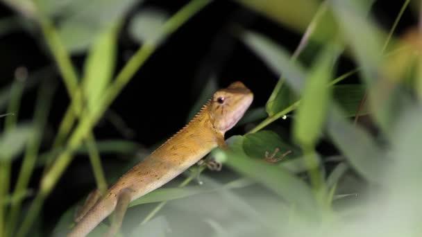 Changeable lizard Calotes versicolor, night. Thailand