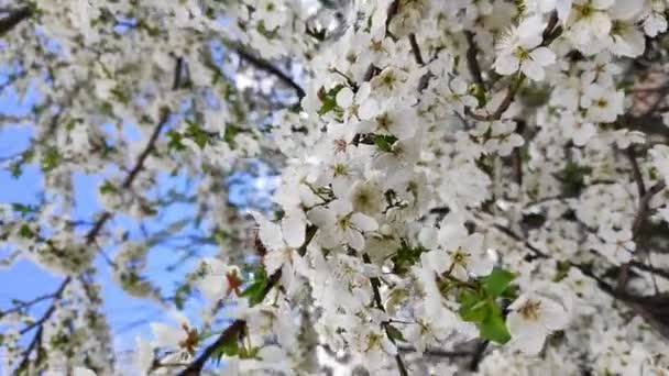 Blooming cherries in the spring in the wind pollinated by bees