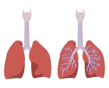 Lungs color illustration on a white background