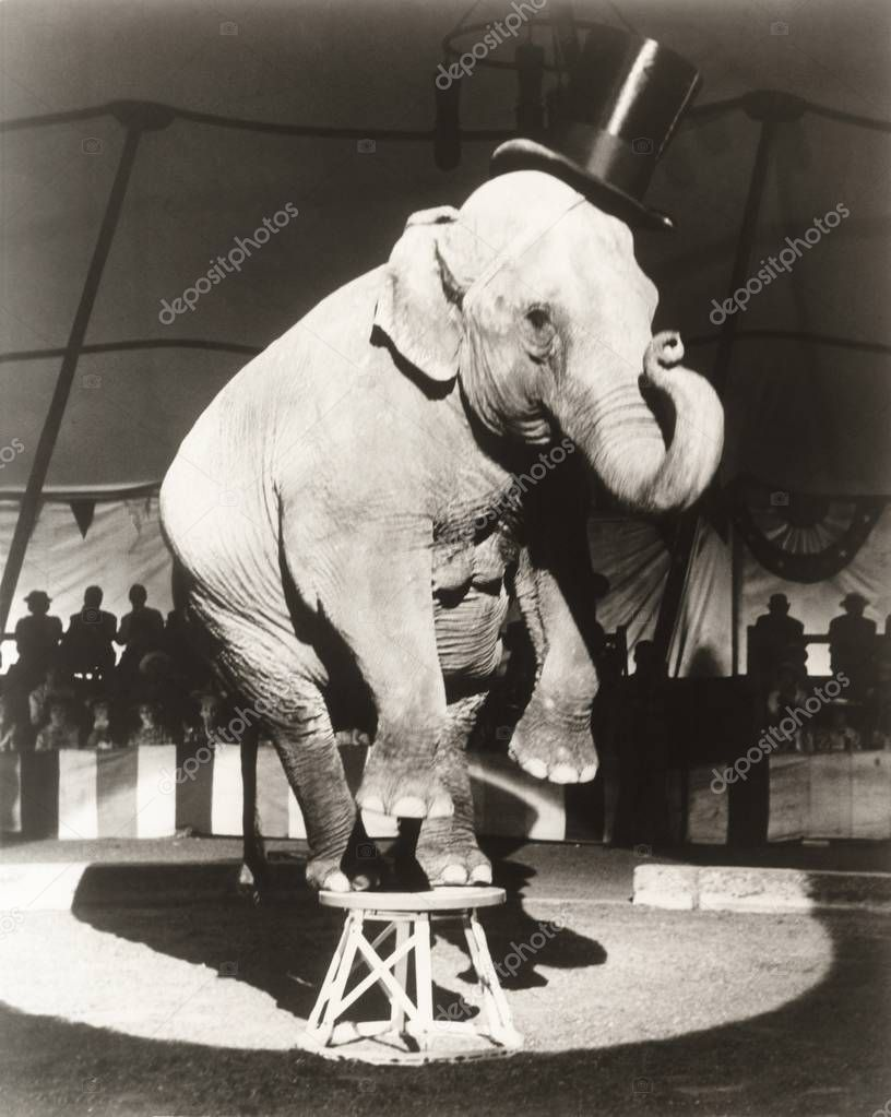 Elephant performing on stool