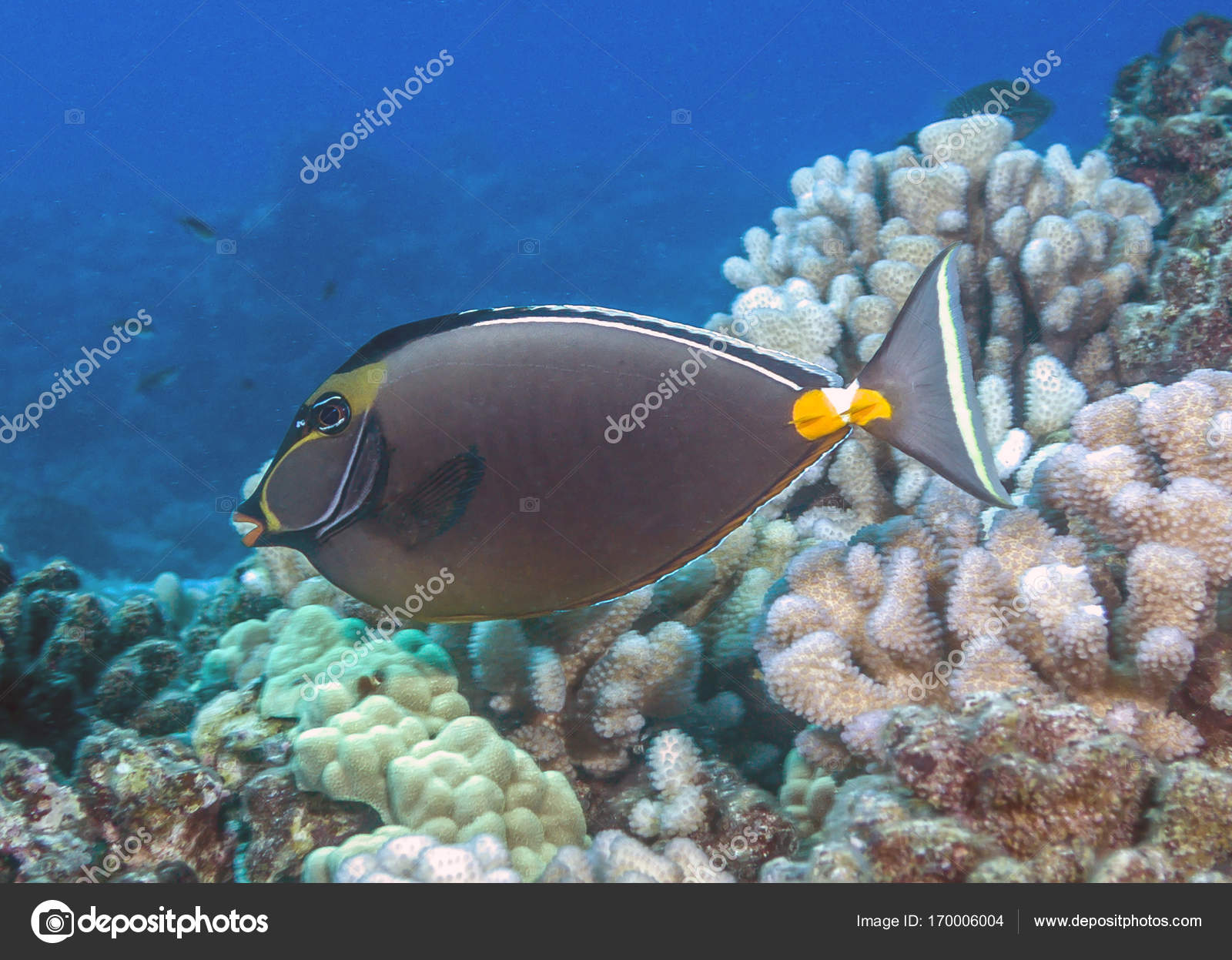 cd9635ecb Recifes de corais unicornfish — Stock Photo © johnanderson  170006004