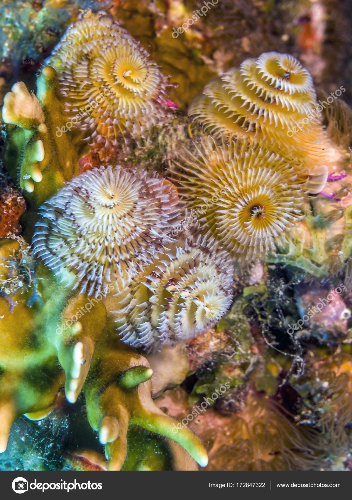 Spirobranchus Giganteus Christmas Tree Worms Stock Photo