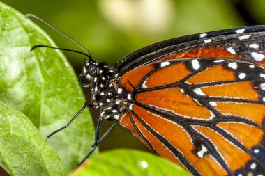 monarch butterfly,Danaus plexippus is a milkweed butterfly (subfamily Danainae) in the family Nymphalidae