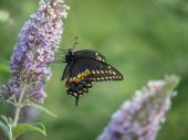 Schwarzer Schwalbenschwanz-Schmetterling im Sommer