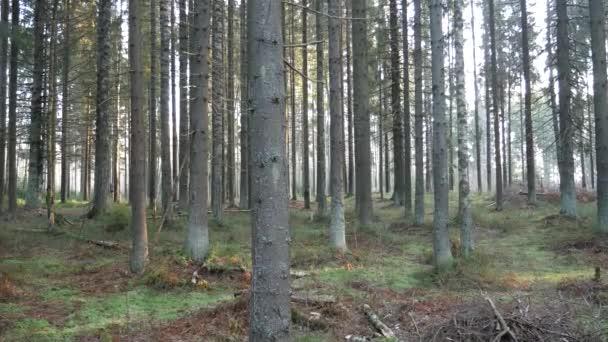 Foresta naturale di abete rosso e foresta decidua. I raggi solari attraverso la nebbia creano unatmosfera mistica.
