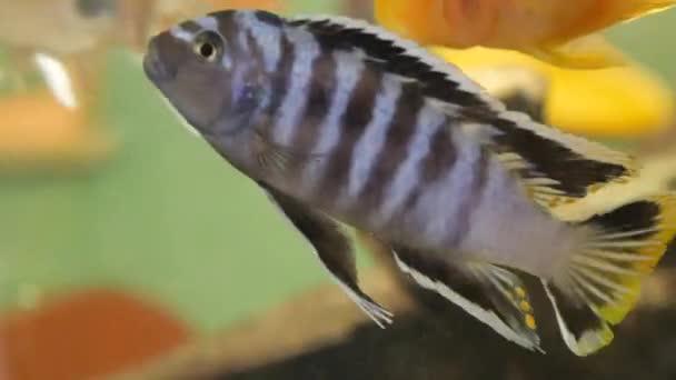 Aranyhal egy közeli akváriumban. Narancs szín.