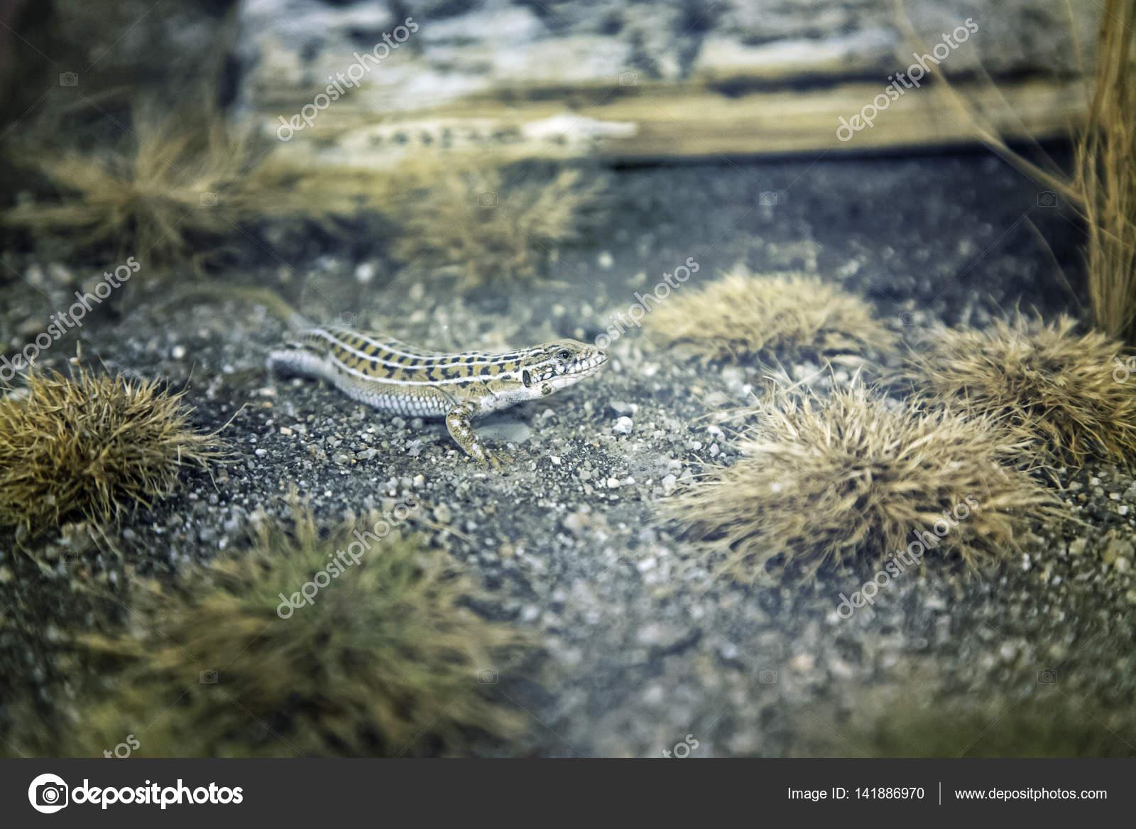 Lizard In Terrarium Stock Photo C Celiafoto 141886970