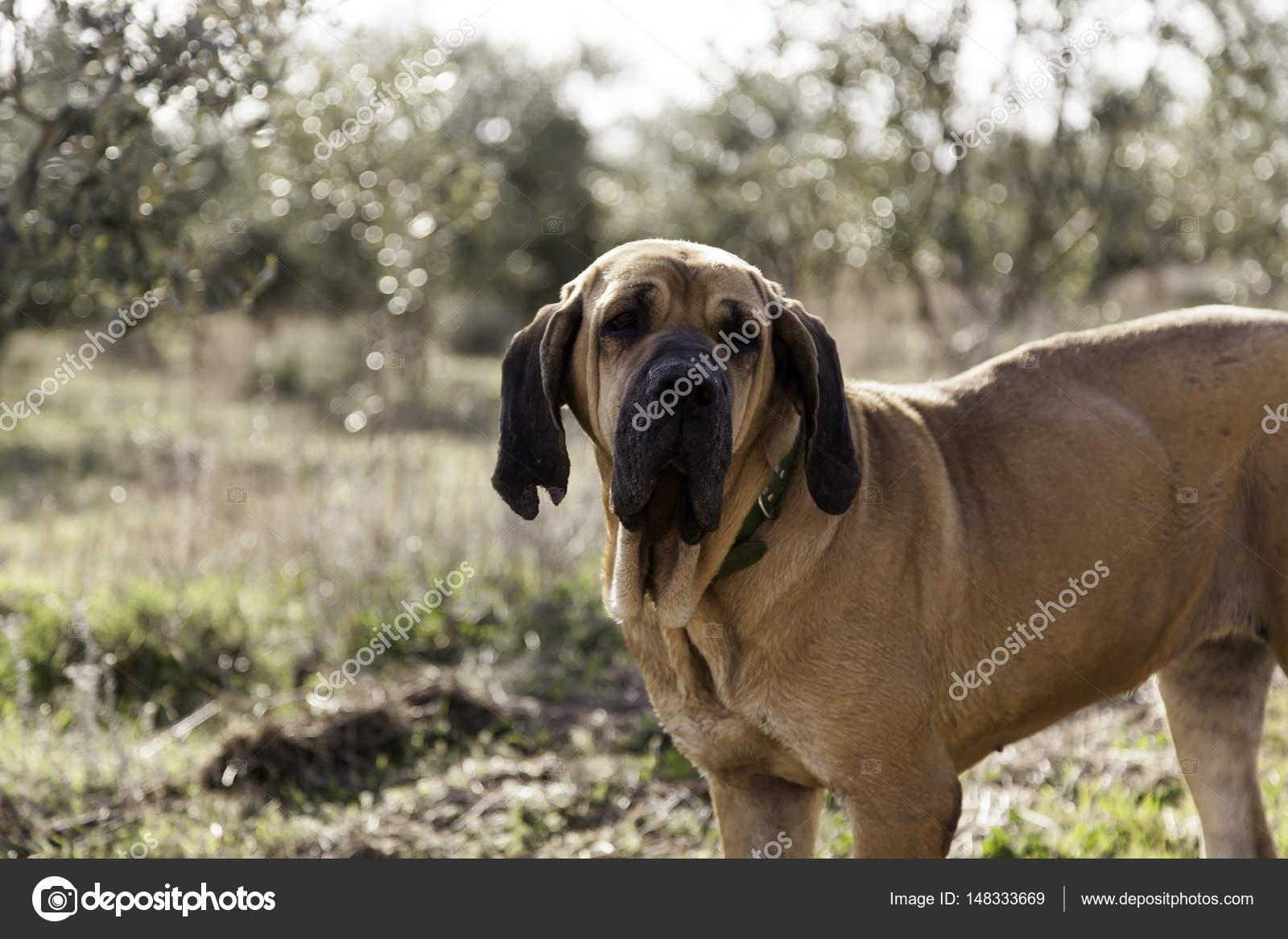 2dd53be84ec Hond fila brasileiro, hond hoedster van bedrijf — Foto van ...