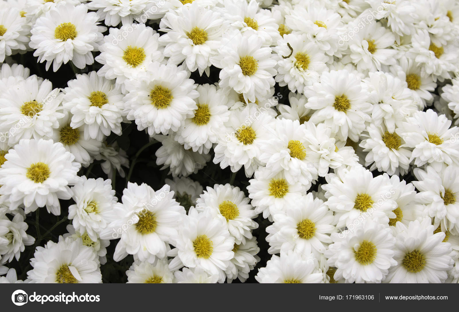 Center of daisy flowers stock photo celiafoto 171963106 center of daisy flowers stock photo izmirmasajfo