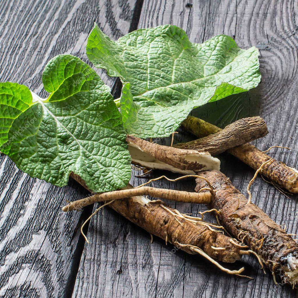 Medicinal plant burdock (Arctium lappa) on a dark wooden backgro