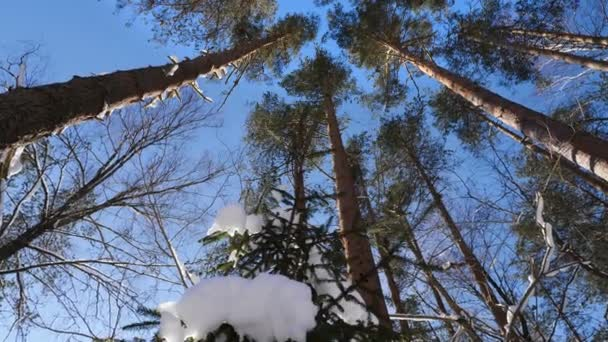 Panorama-Aufnahme von den Baumkronen im Winterwald