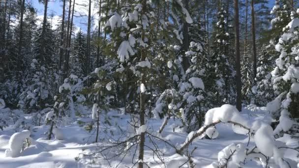 Panorama-Aufnahme von Winterwald und schneebedeckte Bäume