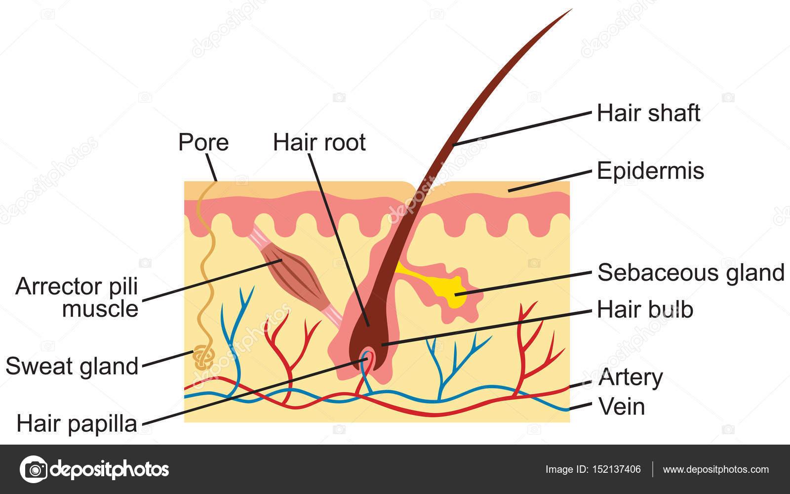 pelo y la piel humana anatomía ilustración — Archivo Imágenes ...