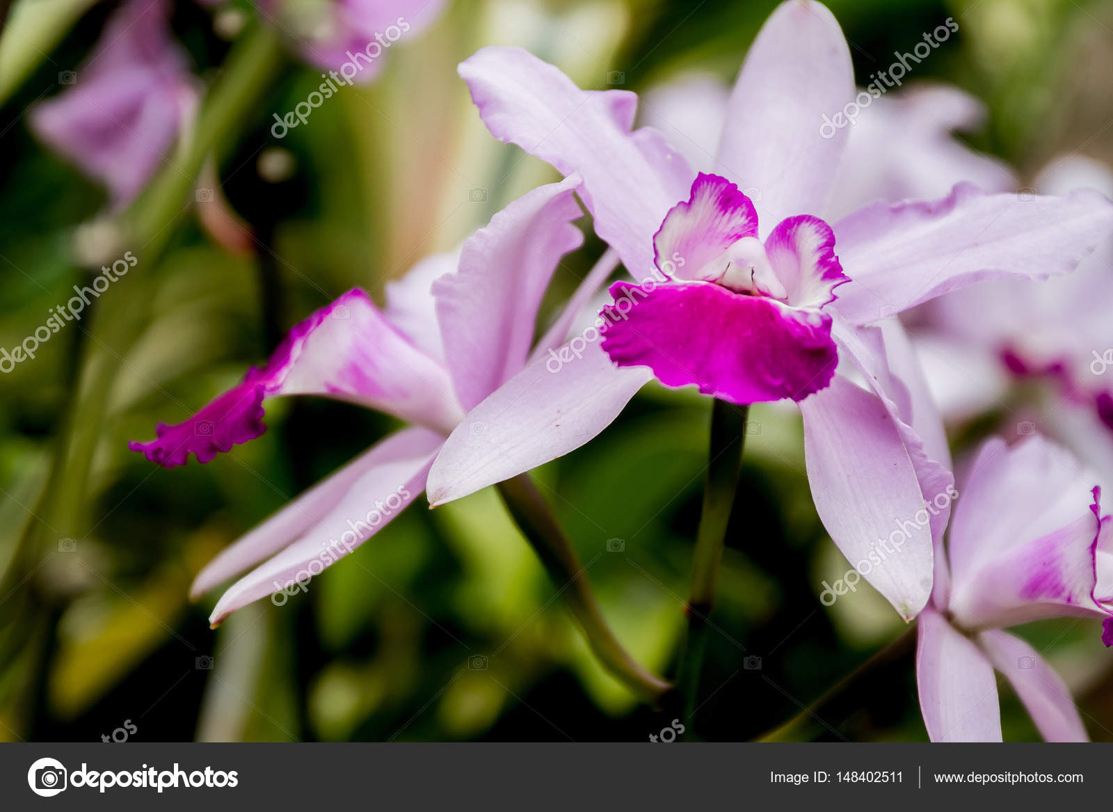 Beautiful orchid flowers stock photo volare2004 148402511 beautiful orchid flowers on natural background photo by volare2004 izmirmasajfo