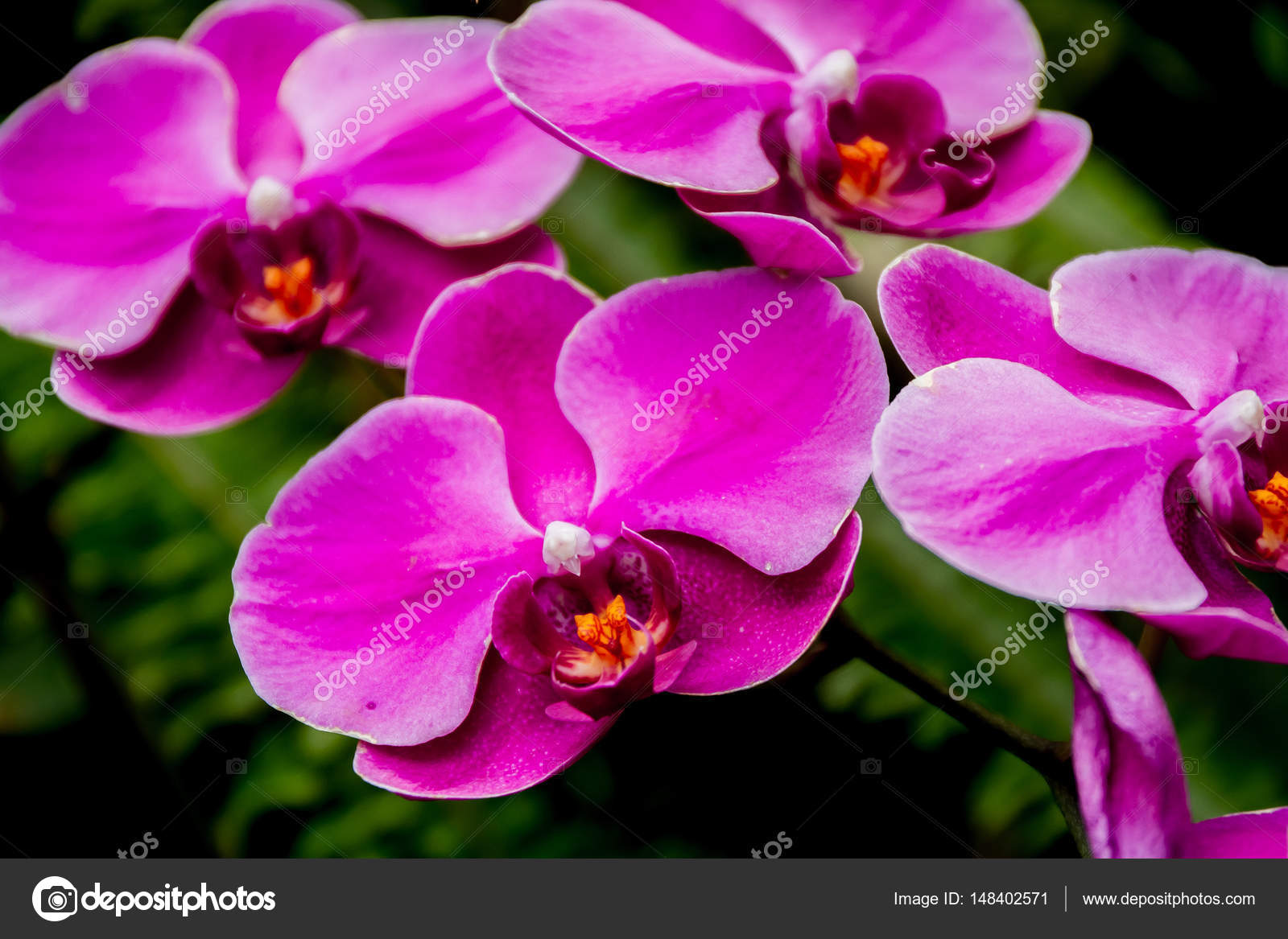 Beautiful orchid flowers stock photo volare2004 148402571 beautiful orchid flowers on natural background photo by volare2004 izmirmasajfo