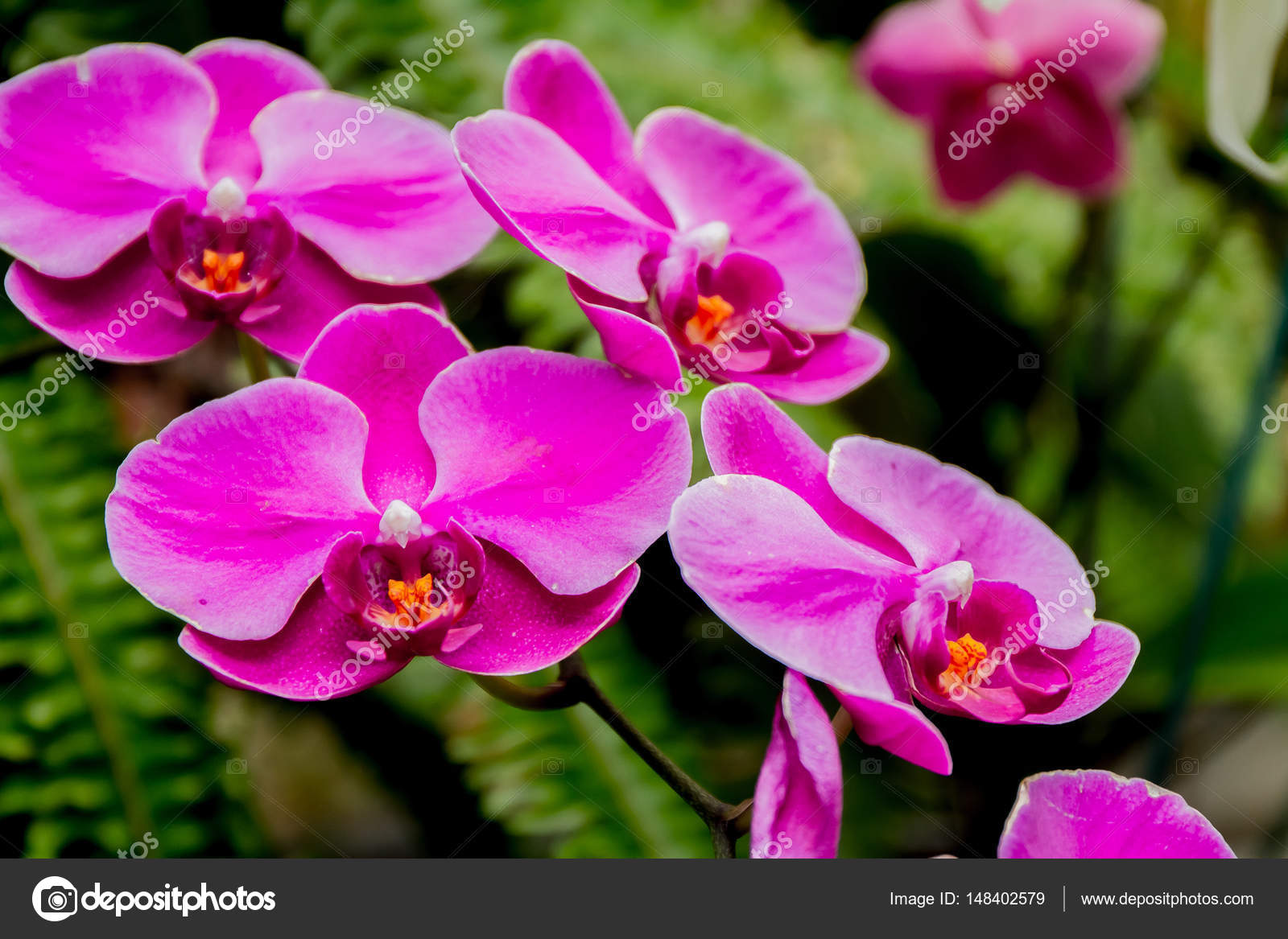 Beautiful orchid flowers stock photo volare2004 148402579 beautiful orchid flowers on natural background photo by volare2004 izmirmasajfo